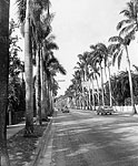 Palm Trees Along McGregor Bvd., Fort Myers, 1961