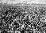 Pineapple Field, Delray or Fort Pierce, 192-
