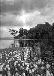 Water Hyacinth on St. John's River, Green Cove Springs, 1931